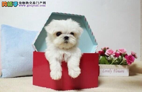 小型马尔济斯,幼犬,保纯种,保健康,可以空运