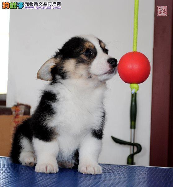 深圳哪里有卖柯基柯基那里买深圳纯种柯基狗哪里买好