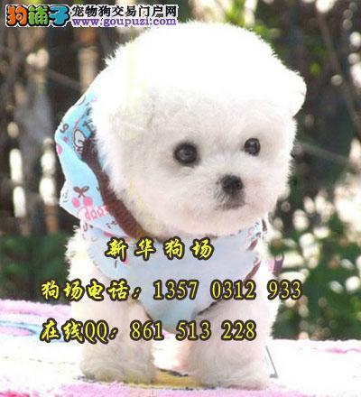 白色宠物狗有什么品种呢 东莞在哪里有纯种比熊买
