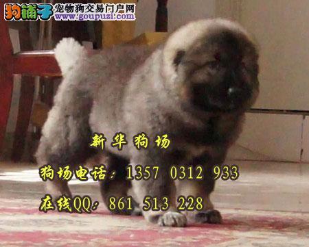 东莞在什么地方有卖高加索 东莞买狗去哪比较放心呢
