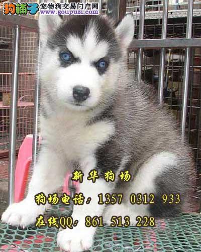 东莞哪里有雪橇犬哈士奇买 东莞卖狗有保障的地方