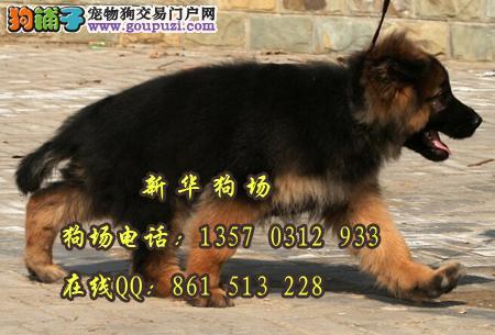 东莞有哪里有德国黑背买 纯种德牧狼狗一只多少钱