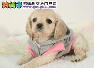 出售纯种可卡 宠物幼犬 狗狗 包键康 纯种 实体选狗