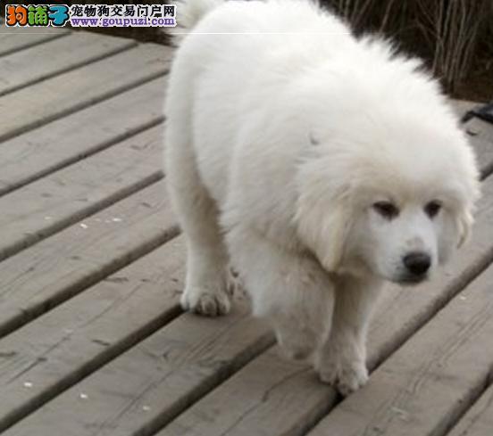 大白熊犬舍_大白熊价格_大白熊图片_大白熊犬多少钱