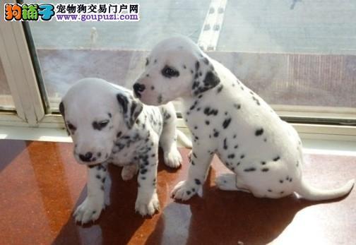 哪里有纯种斑点狗幼犬保证健康