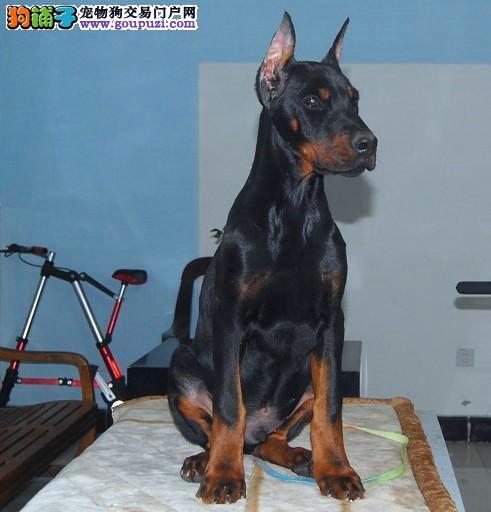 荆州繁殖基地出售多种颜色的杜宾犬可签订活体销售协议