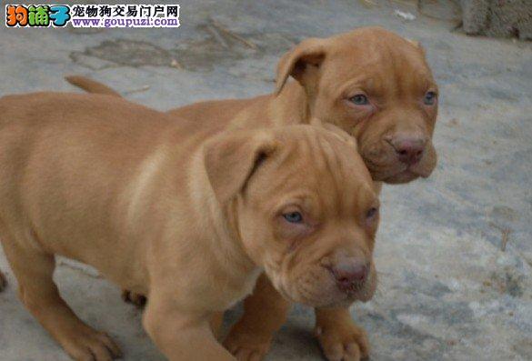 家养多只南京比特犬宝宝出售中购犬可签协议