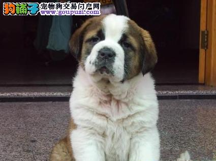 福州出售高大的漂亮的圣伯纳幼犬 品质绝对好