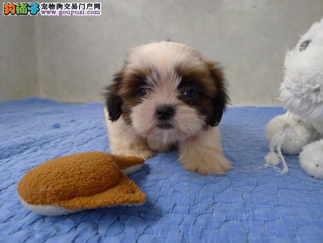 高品质西施幼犬出售。可签订协议书