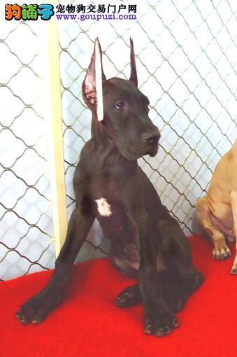出售大丹犬幼犬品质好有保障购犬可签协议
