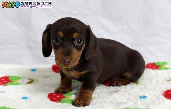 完美品相血统纯正沈阳腊肠犬出售赛级品质血统保障