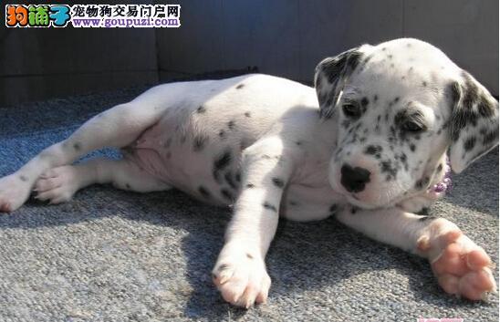 斑点狗狗场直销 (无中介) 中型犬