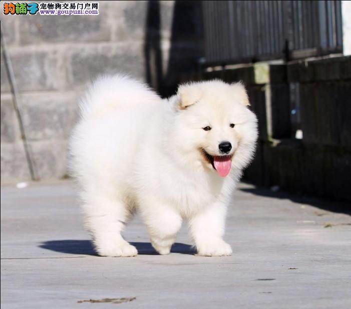 微笑天使般的贵阳萨摩耶幼犬找新家 我们承诺售后三包