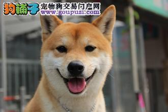 极品 柴犬、赛级血统、 免费送货 完美售后可签协议