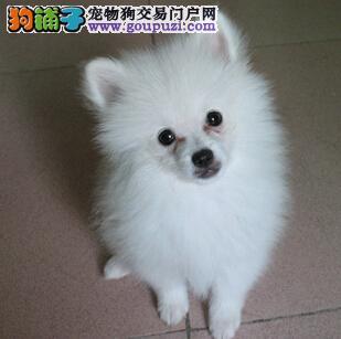 日本尖嘴犬 出售银狐犬 银狐狗图片 银狐狗价格