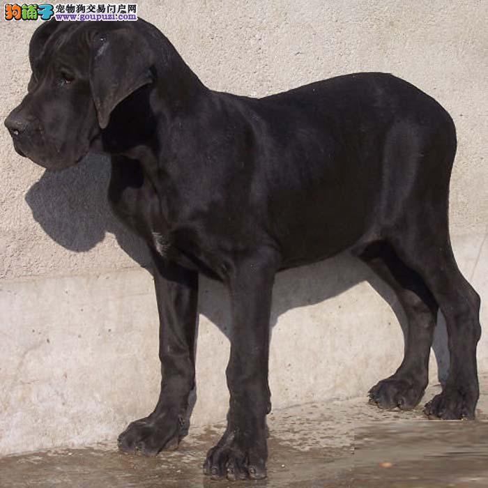 出售纯种大丹犬 真实照片视频挑选 绝对信誉保证