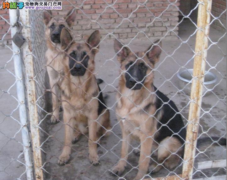 纯种狼狗出售中质量三包终身免费驯养指导