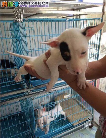 有卖纯种牛头梗的 纯蛋头顶级小牛幼犬出售