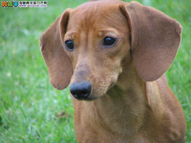 出售纯种腊肠犬 小巧可爱 犬舍繁殖保证健康 保纯