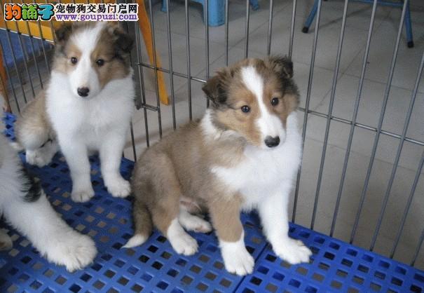 福州苏牧幼犬出售赛级苏牧幼犬保证纯种健康品相极佳