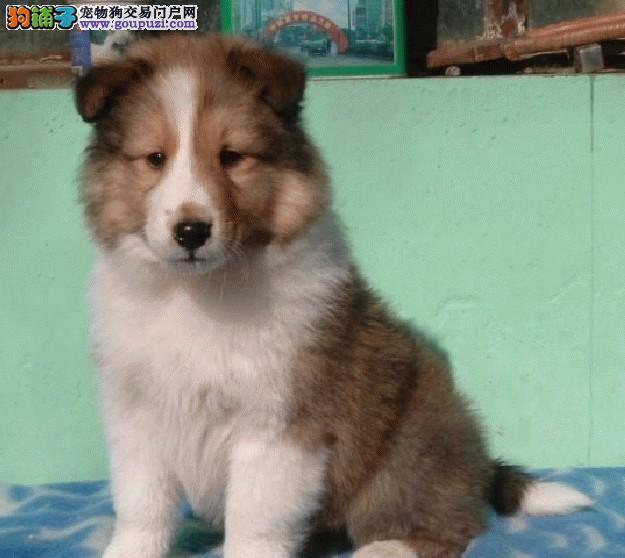 苏州出售苏牧幼犬 苏牧幼犬价格 苏州市场价格多少钱