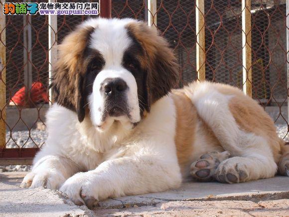 CKU犬业专业打造顶级圣伯纳犬三针三年质保免费送货