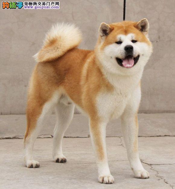 日系秋田犬 品质健康保证