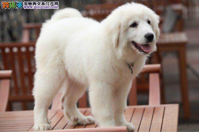 金华哪里卖大白熊犬 金华大白熊犬多少钱大白熊犬价格