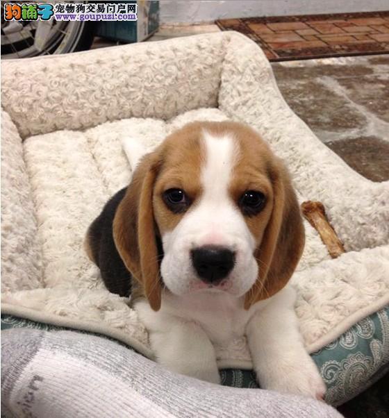 纯种极品比格幼犬特价出售 纯种健康的幼犬宝宝