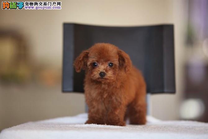泰迪专业繁殖 颜色全有 玩具 茶杯体型 多只幼犬