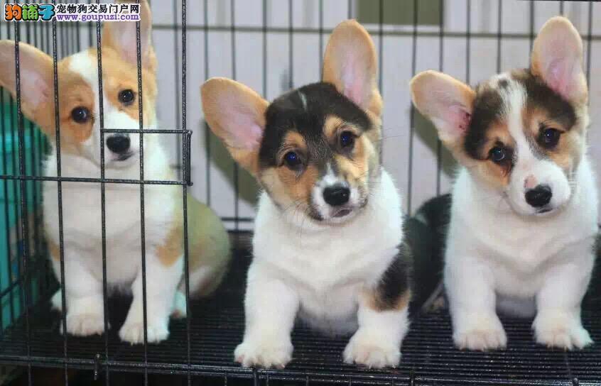 正规大型养殖基地直销威尔士柯基幼犬 品质健康有保障