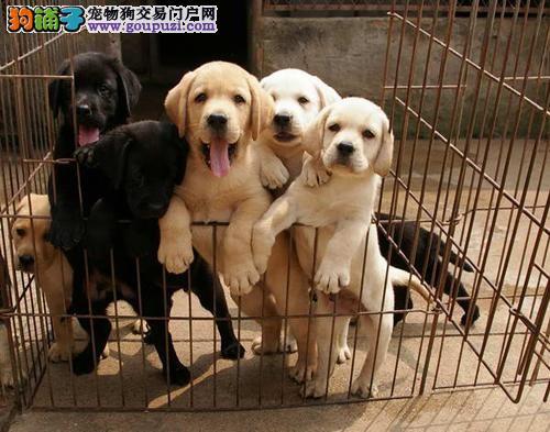 忠实伴侣:导盲犬、赛级血统拉布拉多出售 包健康