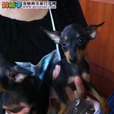 长沙哪里有小鹿犬出售 纯种健康的小鹿犬哪里有多少钱