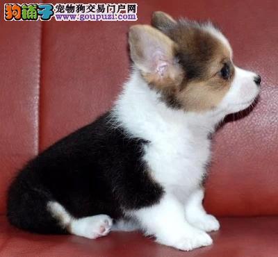 出售赛级柯基犬、三色、二色、质量都有保证
