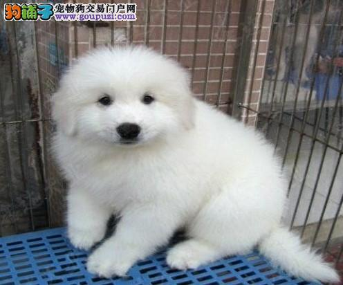 出售纯种极品大白熊幼犬 血统纯正 身体健康 保证品质