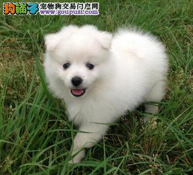 银狐幼犬聪明可爱 单纯善良 对主人忠心 可来场看狗