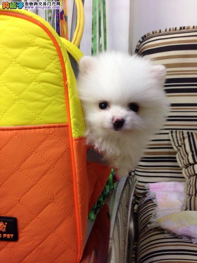 哈多利球体博美犬 英系美系 黄色白色品种齐全 精品