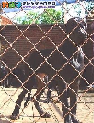 出售纯种健康的大丹犬幼犬送用品送狗粮