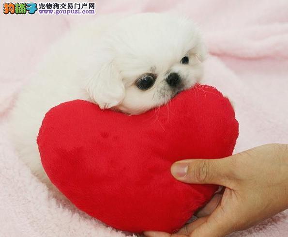出售多只优秀的京巴可上门微信视频看狗