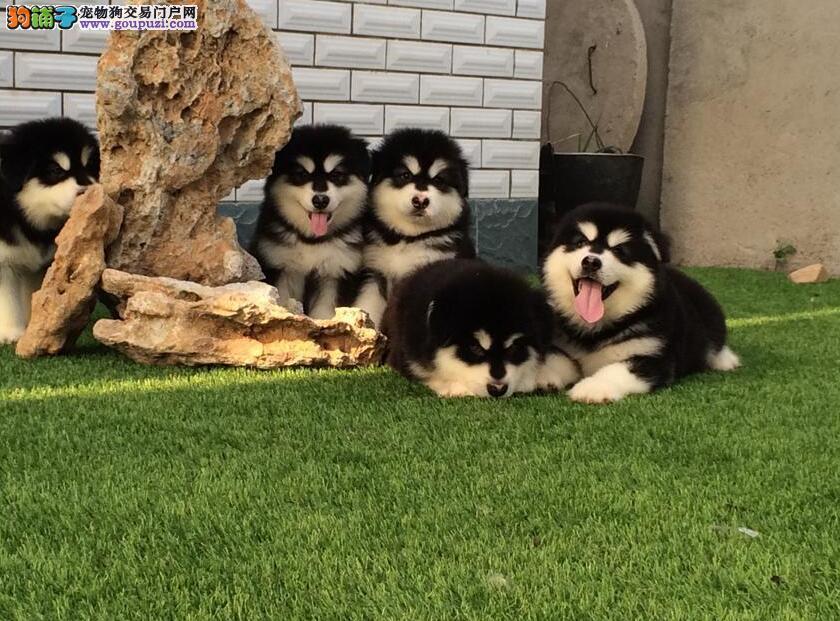 阿拉斯加雪橇犬◕包健康包养活◕死亡包退