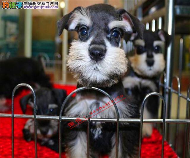高端品质雪纳瑞犬◕健康包养活◕死亡包退换