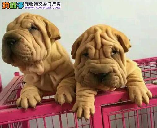 沙皮幼犬出售.可上门包健康