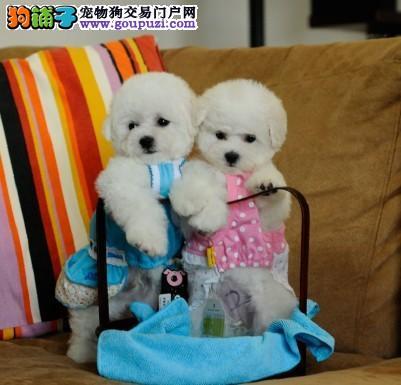 法系卷毛比熊宝宝 冠军级后代幼犬 品质非常好