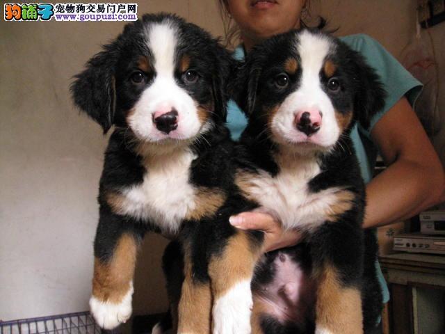 忠实伴侣犬伯恩山幼犬出售 对家人友好 对小孩包容
