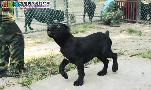 纯种卡斯罗幼犬一流的品质最好的卡斯罗