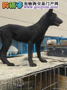 哪里有养黑狼犬的,黑狼犬幼犬喂养方法