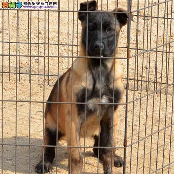 精品马犬幼犬一对一视频服务买着放心以品质惊世人