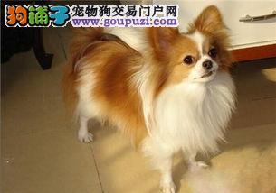 呼和浩特出售蝴蝶犬幼犬品质好有保障CKU认证绝对信誉保障