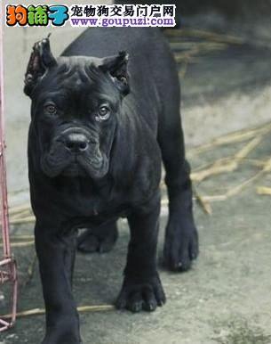 实物拍摄的卡斯罗犬找新主人质保三年支持送货上门