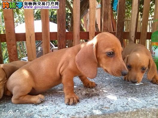 实物拍摄的武汉腊肠犬找新主人CKU认证绝对信誉保障